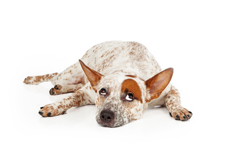 Queensland Heeler mixed breed dog laying against a white backdrop and rolling his eyes up with a frustrated expression