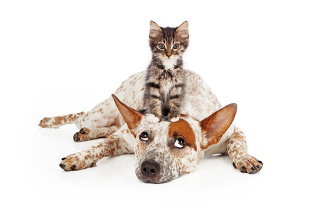 A patient Queensland Heeler mixed breed dog laying against a white backdrop and rolling his eyes up at a little kitten sitting on his head photo