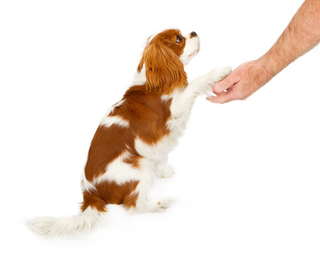 Cavalier King Charles Spaniel dog against a white backdrop shaking the hand of a person Stock Photo