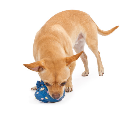 A small mixed breed Chihuahua playing with a toy and isolated on white photo