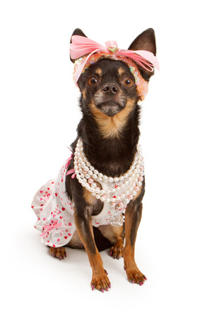 spoiled: A beautiful Chihuahua dog isolated on white wearing a pink outfit and a headband with a big bow.  Stock Photo