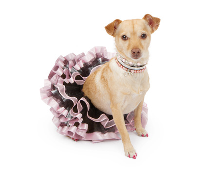 A pretty Chihuahua and Terrier mixed breed dog dressed up in a pink and black tutu wearing fancy rhinestone and pearl necklaces and a collar. Isolated on white.
