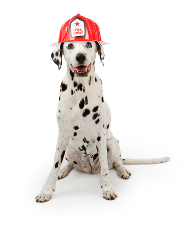 dalmation: A cute spotte Dalmation dog wearing a red fireman hat sitting down on a white background.  Stock Photo
