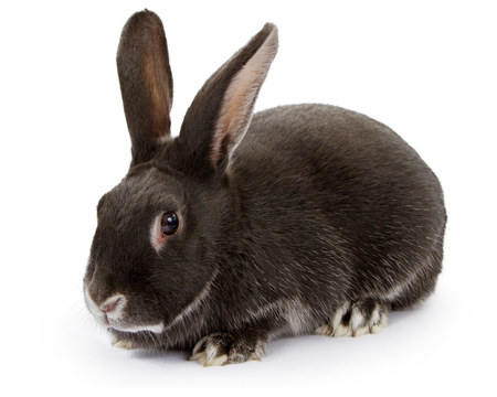 brownish: A brownish black colored rabbit with tall ears isolated on white Stock Photo