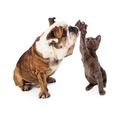 A large Bulldog and a little gray kittn raising their paws to give a friendly high five gesture. Isolated against a white backdrop