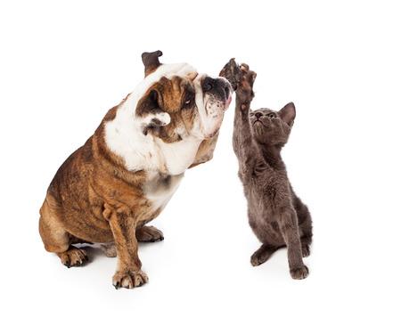 Eine große Bulldog und ein wenig grau kittn Erziehung ihrer Pfoten, eine freundliche Geste high five zu geben. Isoliert gegen einen weißen Hintergrund Standard-Bild - 22890022