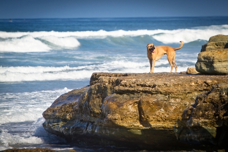 dog rock: A large mixed breed dog standing on a large rock on the shore of a beach  Stock Photo