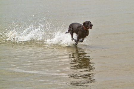 running water: A large black dog running very fast in the ocean water with water splashing around him Stock Photo