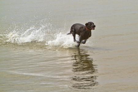 perro corriendo: Un gran perro negro corriendo muy rápido en el agua de mar con agua que salpica a su alrededor Foto de archivo