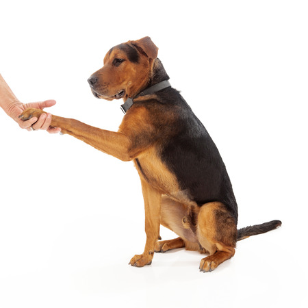 An adult mixed large breed dog shaking hands with a person Imagens