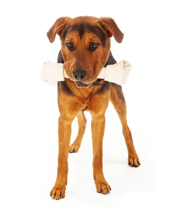 rawhide: A large mixed breed dog with a big rawhide bone in his mouth. Isolated on a white background.