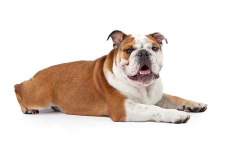 A young nine month old English Bulldog laying down against a white background and looking at the camera photo