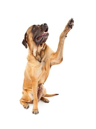 A large female English Mastiff dog raising her paw to shake hands Stock Photo