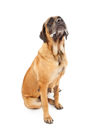 slobber: A large apricot color female English Mastiff dog with slobber on her mouth sitting against a white backdrop