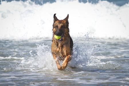 pastorcillo: Perro de pastor alemán que se ejecuta en el océano con una pelota de tenis amarilla en la boca