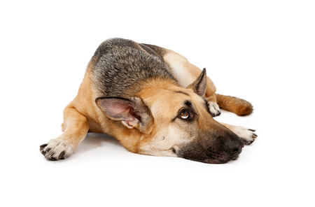 large dog: A German Shepherd Dog laying down against a white backdrop and looking up  Stock Photo