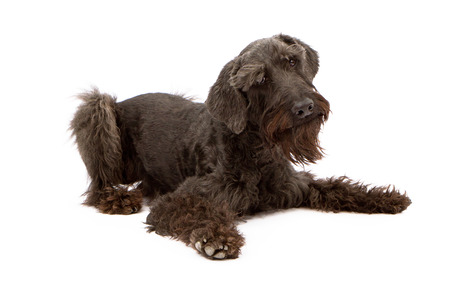 black giant: Large black giant Schnauzer dog laying down against a white backdrop