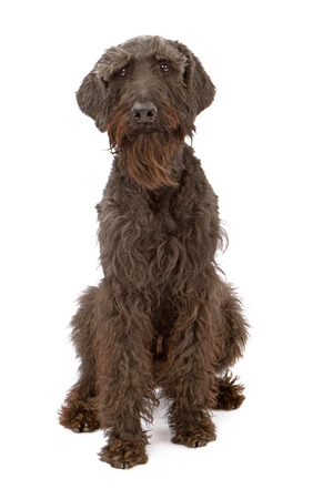 black giant: Giant Black Schnauzer dog standing against a white backdrop