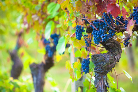vine country: Bunches of ripe purple grapes on a vineyard in Tuscany, Italy that are ready to harvest to make wine
