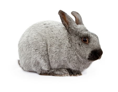 solver: A gray and black rabbit isolated on white Stock Photo
