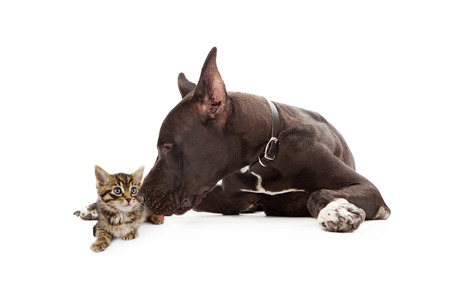dane: Great Dane dog laying next to a young kitten giving her a kiss