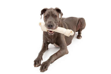 rawhide: Great Dane dog with a very large rawhide bone in his mouth