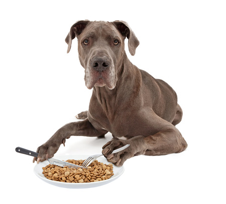 A blue Great Dane dog laying against a white background and eating a plate of food with a knife and a fork that he is holding in his paws photo