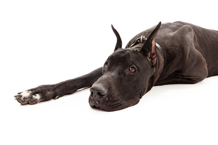 dane: A large black Great Dane dog with cropped ears laying down against a white background.  Stock Photo