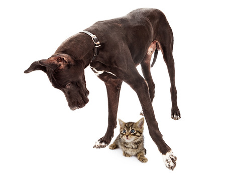 Great Dane dog standing up and looking at a small kitten under his feet