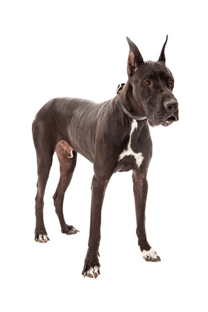 Great Dane dog standing against a white background photo