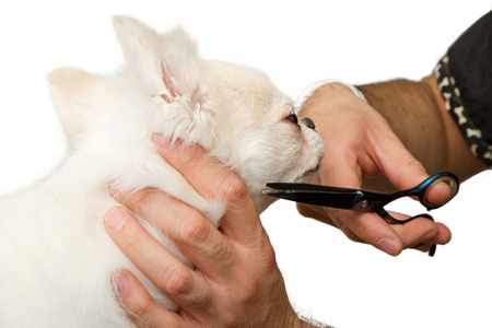 groomer: A make groomer clipping the fur of a beautiful white Chihuahua dog