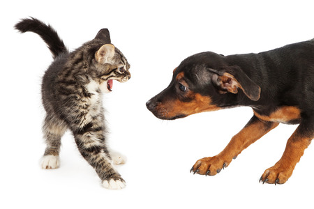 sniff: A scared small kitten hissing at a young Beagle mixed breed puppy that is trying to sniff her