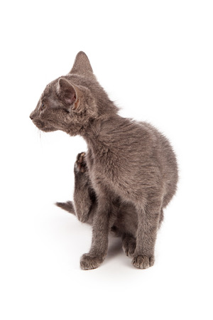 scratches: A small gray kitten sitting on a white background and scratching  Stock Photo