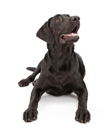 A black one year old Labrador Retriever dog laying down and looking up photo