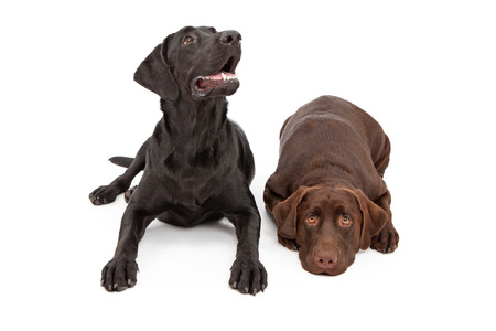 two year old: Two one year old Labrador Retriever dogs laying down against a white backdrop. Dogs are females from the same litter. One has a black coat and one has a chocolate color coat.