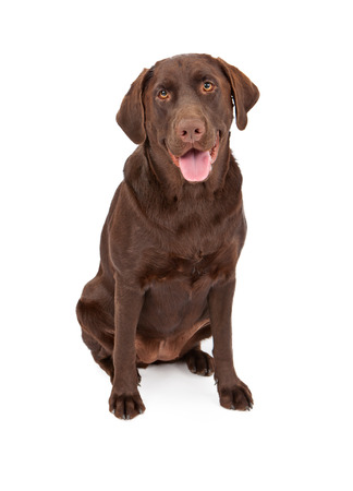 sitting down: A one year old chocolate color Labrador Retriever dog sitting down against a white background