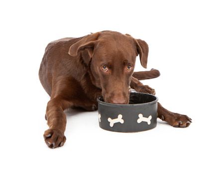 chocolate labrador retriever: A tired and thirsty chocolate Labrador Retriever puppy laying down against a white background and drinking water from a bowl while looking at the camera