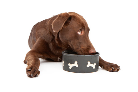 A chocolate Labrador Retriever puppy laying down against a white background and drinking water from a bowl while looking up and to the side photo