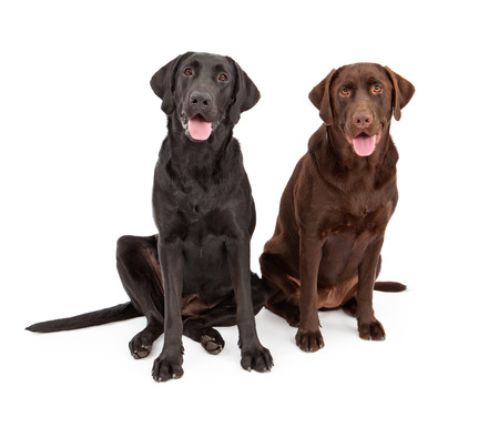 Two Labrador Retriever dogs sitting against a white backdrop photo