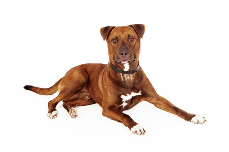 rescued: Large mixed breed rescued dog laying against a white backdrop Stock Photo
