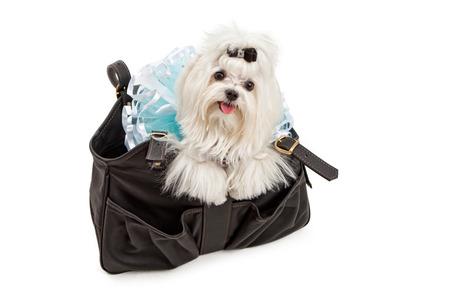 A Maltese dog wearing a blue Tutu in a designer black travel carrier photo
