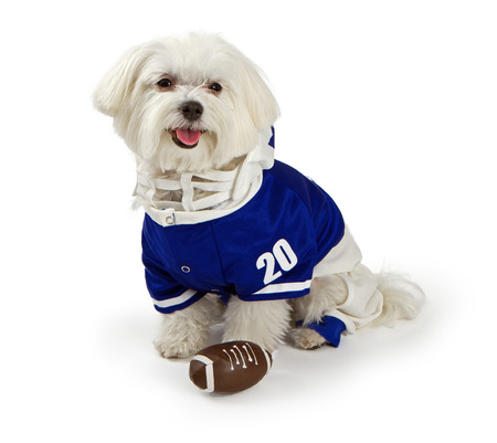 maltese dog: Maltese dog isolated on white wearing blue football uniform Stock Photo