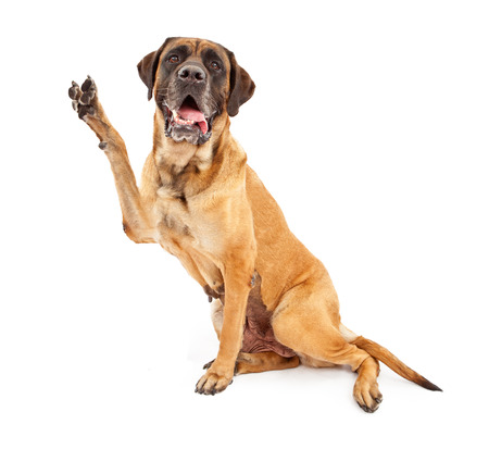 Mastiff dog against a white backdrop holding his paw up and making a V shape to symbolize peace, vote or victory Фото со стока