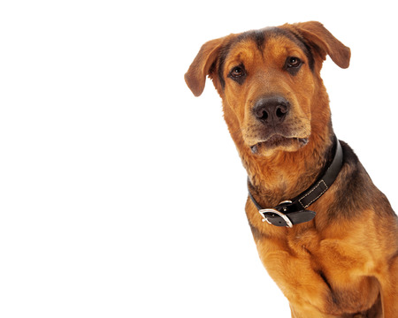 A closeup of an adult large breed rescue dog that is coming out from the corner of the image with room for your text message