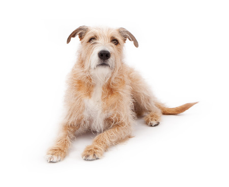 wirehair: A large mixed breed dog laying against a white backdrop and looking up Stock Photo
