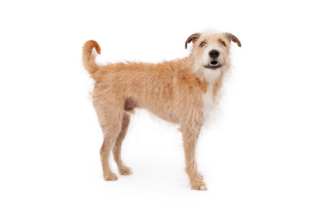 wirehair: A large mixed breed dog with wire hair standing against a white backdrop