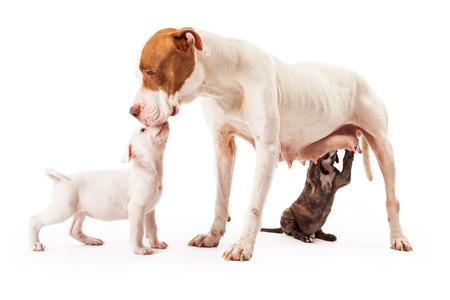 Een vrouwelijke Pit Bull gemengd ras hond die een kus van een van haar pups, terwijl een ander is verpleging. Stockfoto