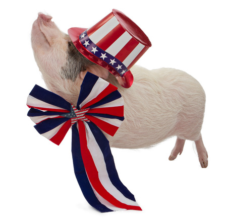 independence day: A pot-bellied pig wearing a patriotic red, white and blue hat and bow with stars for a fourth of July celebration