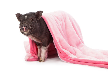 white blanket: Baby black pig wrapped in a pink plush blanket Stock Photo