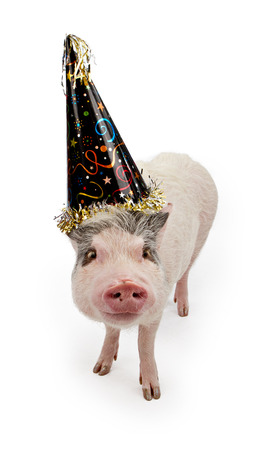 Mini pot bellied pig in a fun black party hat isolated on white photo